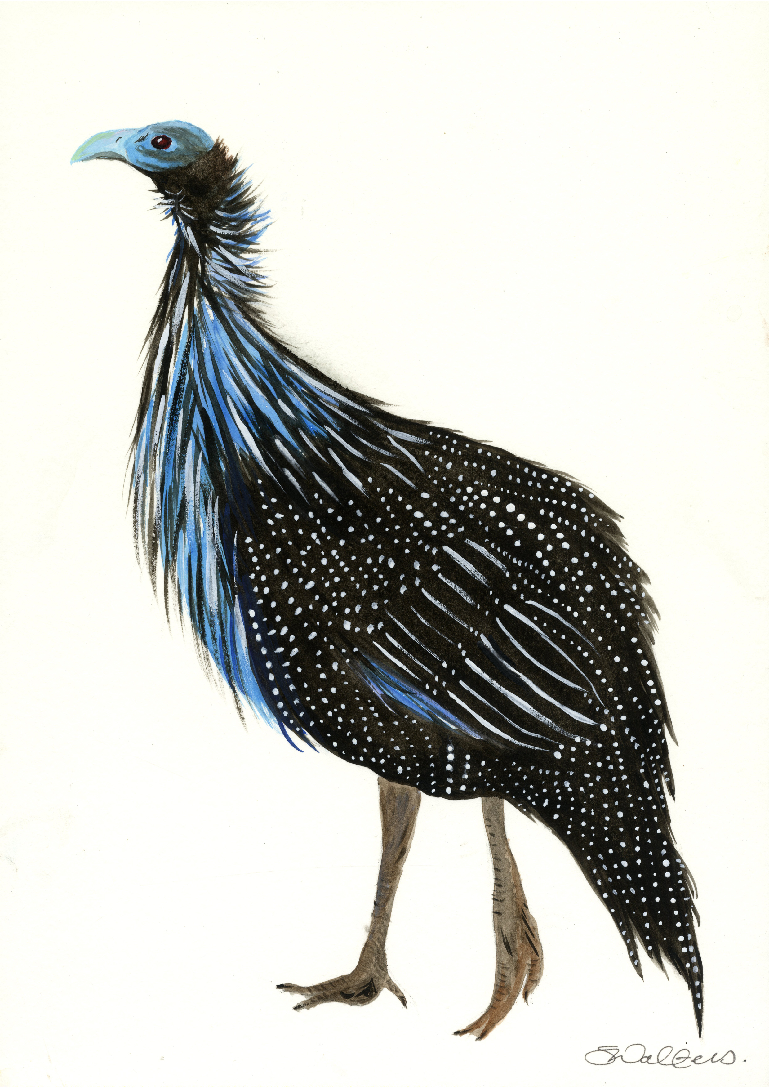 East African Guinea Fowl