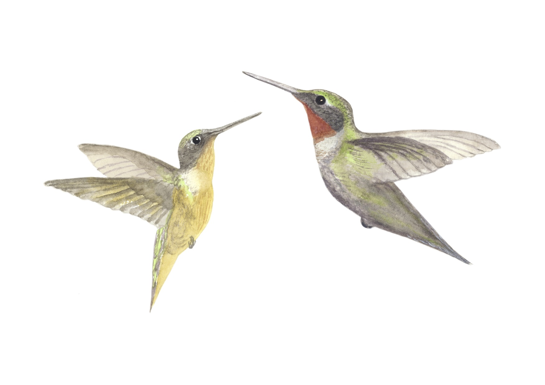 Hummingbirds - Davis