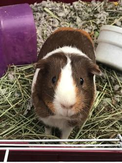 Stella the guinea pig