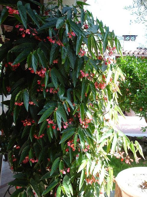 Rare Tamaya Begonia Plant