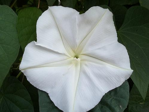 """Moonflower Vine """"Giant White"""" 50 seeds"""