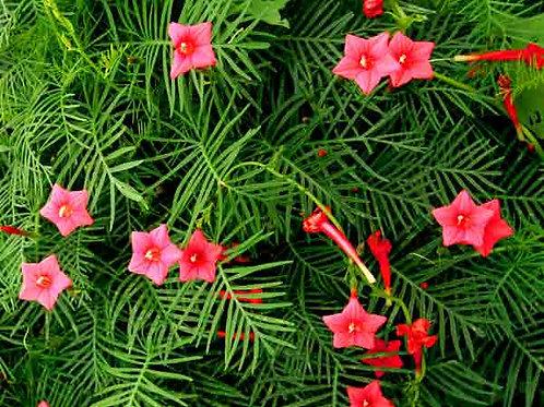 Cypress Vine 50 Seeds