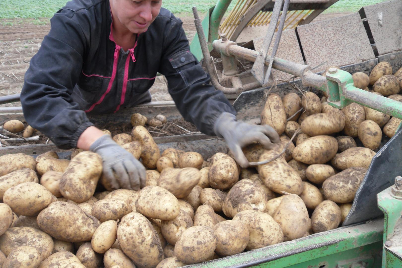 pommes de terre arrachage 004.JPG.jpg