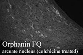 Orphanin FQ