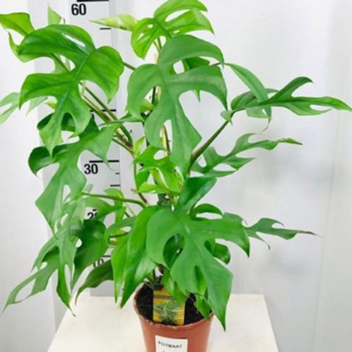 rhaphidophora tetrasperma - 'Mini Monstera'