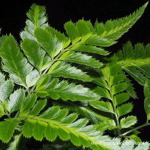 rumohra adiantiformis - 'Leather Leaf Fern'
