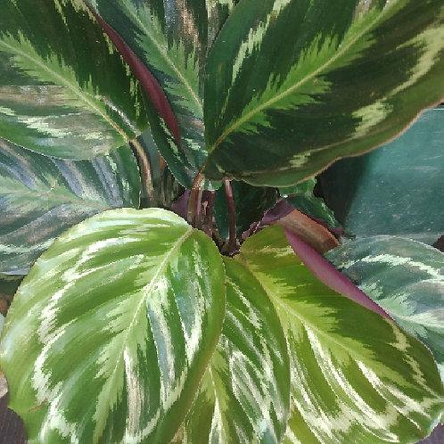 calathea roseopicta - 'Calathea Medallion'