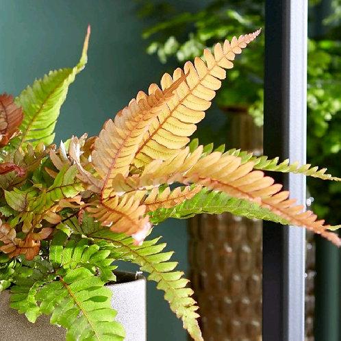 pteris quadriaurita tricolor - 'Painted Brake Fern'