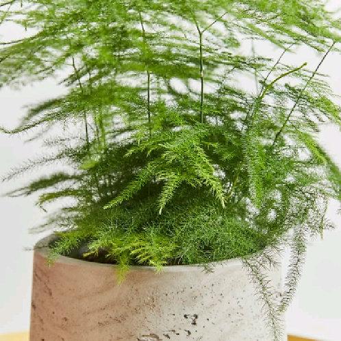 asparagus densiflorus - 'Asparagus Fern'