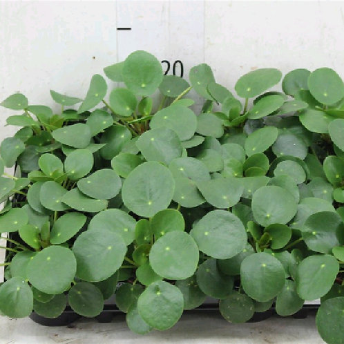 pilea peperomoides - 'Chinese Money Plant'