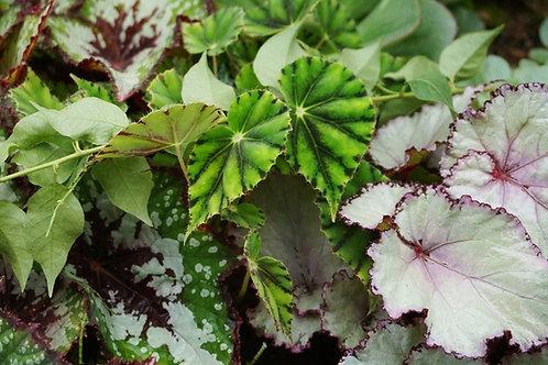 begonia beleaf - 'Begonia Rex'