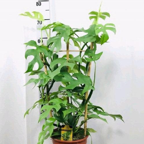 rhaphidophora tetrasperma - 'Philodendron Minima' Mini Monstera'