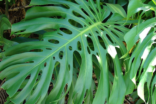 rhaphidophora tetrasperma - 'Monstera Minima'