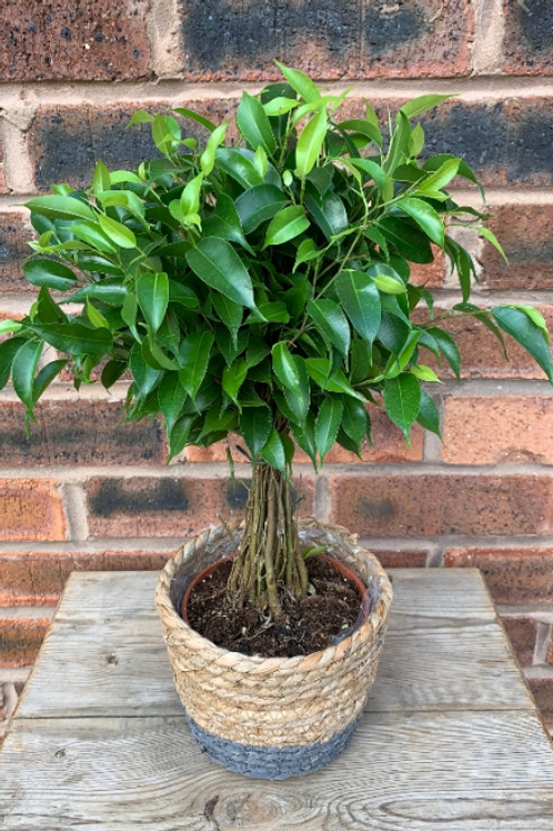 ficus benjamina - 'Weeping Fig'
