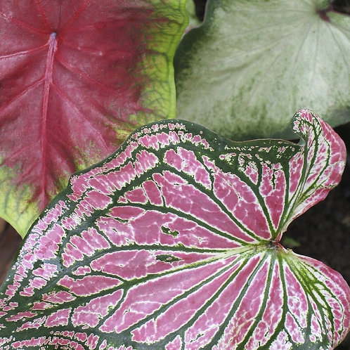 caladium bicolor - 'Heart Of Jesus' Large