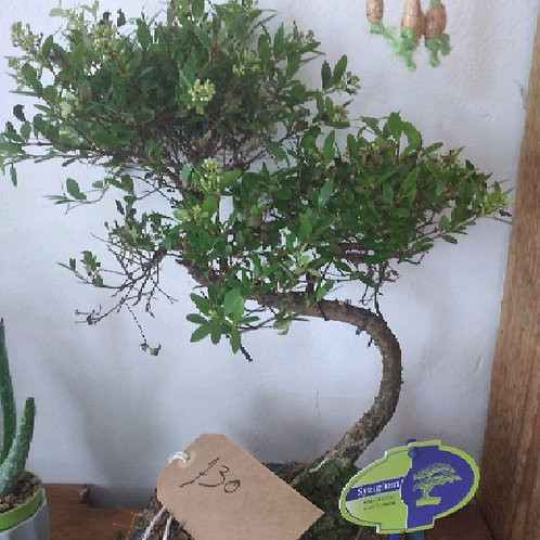 eugenia syzygium - 'Brush Cherry Bonsai'