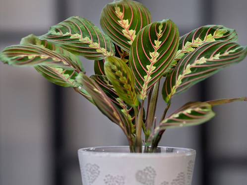 maranta leuconeura fascinator - 'Prayer Plant'
