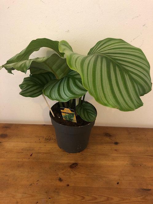 calathea orbifolia - 'Round Leaf Prayer Plant'