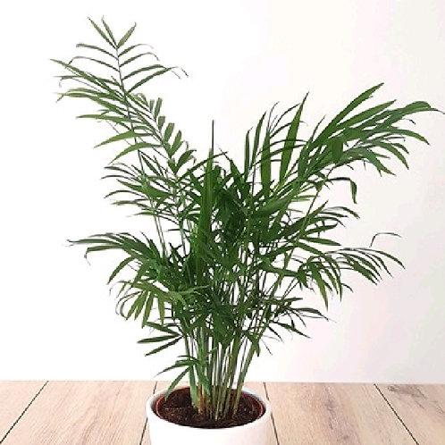 chamaedorea elegans - 'Parlour Palm'