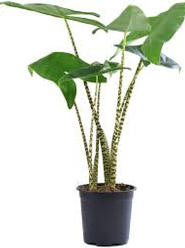 alocasia zebrina - 'Zebra Plant' LARGE