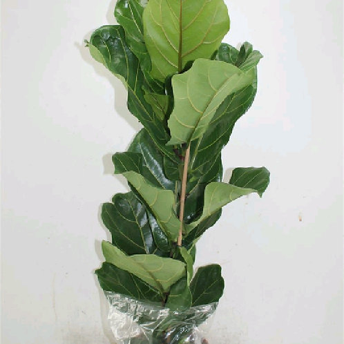 ficus lyrata - 'Fiddle Leaf Fig'