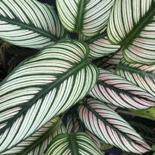 calathea majestica- 'White Star' LARGE