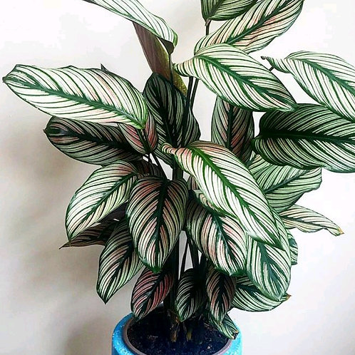 calathea majestica - 'White Star'