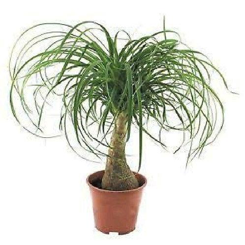 beaucarnea recurvata - 'Nolina Ponytail Plant'