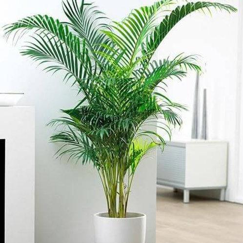 howea forsteriana - 'Thatch Palm'