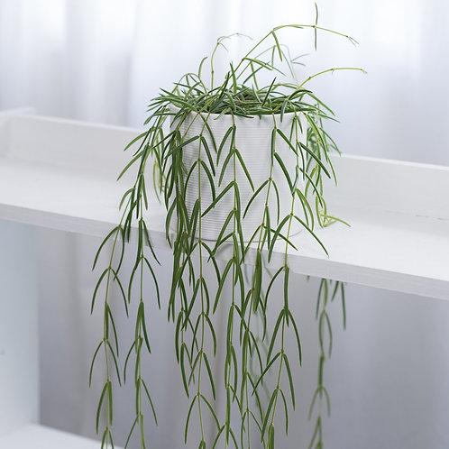 hoya linearis - 'Wax Flower'