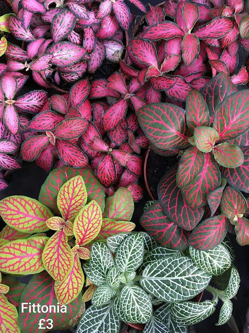 fittonia albivenis - 'Mosaic Plant'