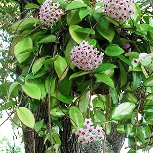 hoya carnosa - 'Mini Wax Plant'