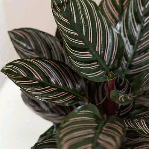 calathea ornata - 'Pinstripe Calathea'