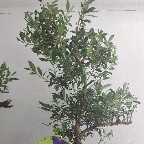 ilex crenata - 'Japanese Holly Bonsai'
