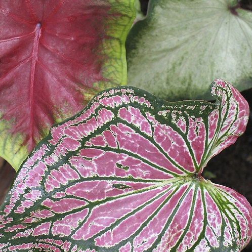 caladium bicolor - 'Heart of Jesus'