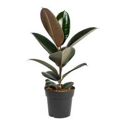 ficus elastica - 'Abidjan Rubber Plant'