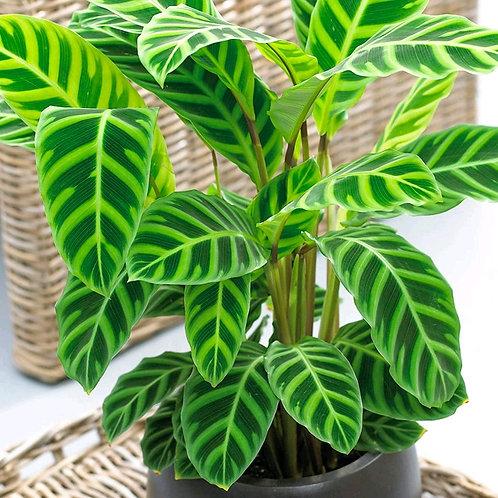 calathea zebrina - 'Zebra Plant'