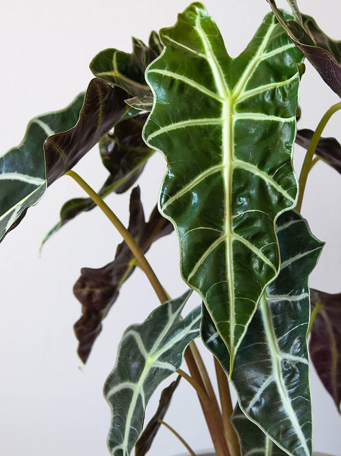 Alocasia 'Polly'(Large)