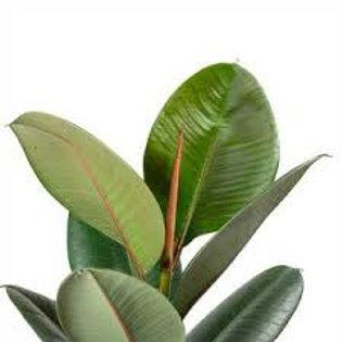 ficus elastica - 'Rubber Plant'