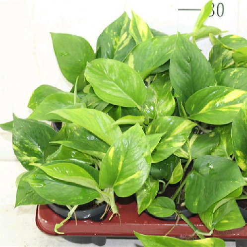 philodendron scandens - 'Sweetheart'