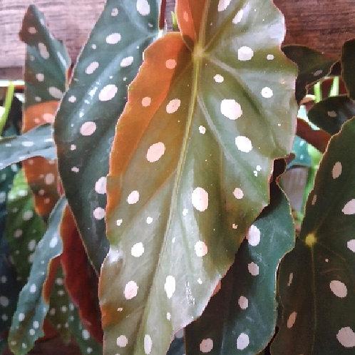 begonia maculata wightii - 'Spotted Begonia'