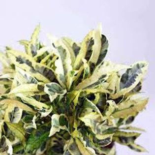 codiaeum variegatum - 'Tamara'