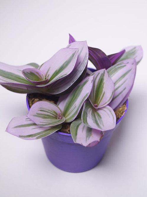 tradescantia albiflora - 'Nanouk'