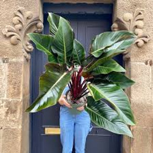 philodendron imperial red - 'Red Beauty' LARGE