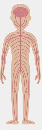 champ d'action de la Kinésithérapie et de l'ostéopathie : le système nerveux