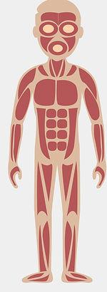 champ d'action de la Kinésithérapie et de l'ostéopathie : le système musculaire