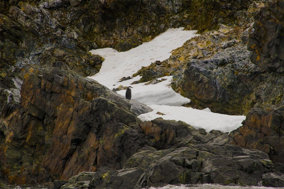 Lone Penguin with Rocks