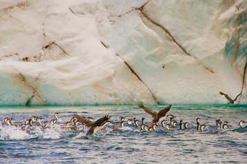 Cormorant Group1