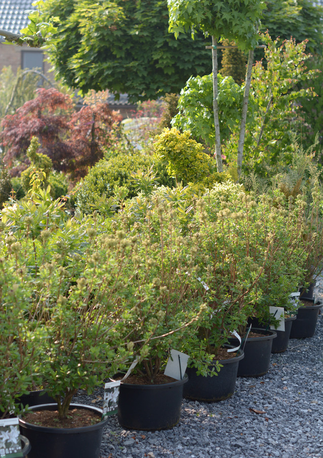 Arbustes de grande taille