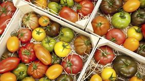 Récolte de tomates anciennes